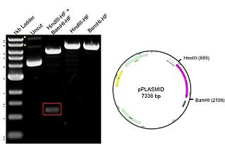 gel of a restriction digest with the plasmid map