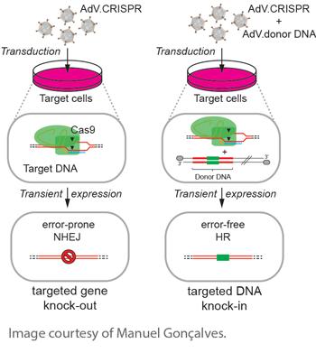 Adenoviral-CRISPR-Cas9-delivery-plasmids-Manuel-Goncalves