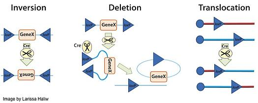 The three general outcomes of Cre recombination: inversion, deletion, and translocation.