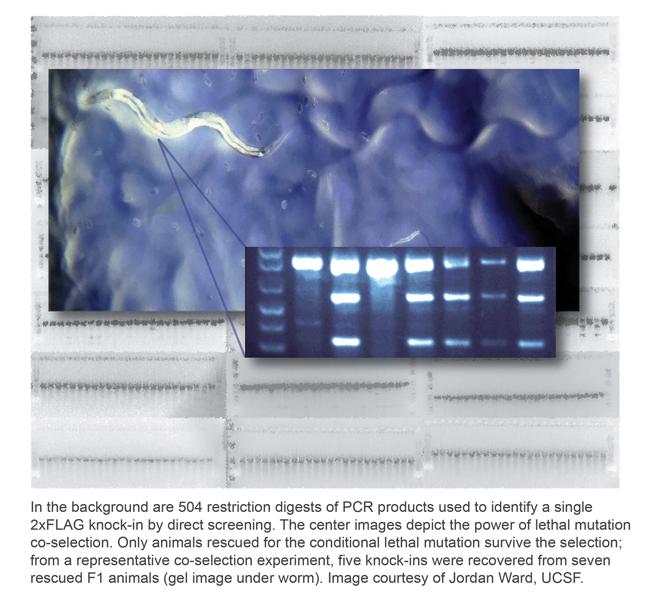 CRISPR-c-elegans-jordan-ward