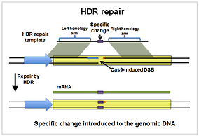 homology-directed-repair (HDR)