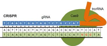 crispr_cas9_genome_engineering