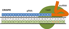 crispr_cas9_genome_engineering