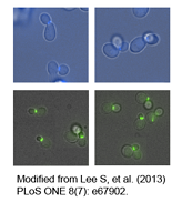 mTagBFP2-EGFP-Fluorescent-tagging-vectors-for-yeast