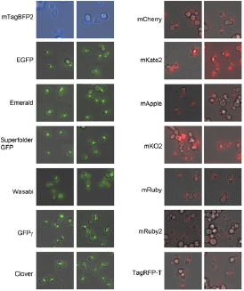 Fluorescent-tagging-vectors-for-yeast