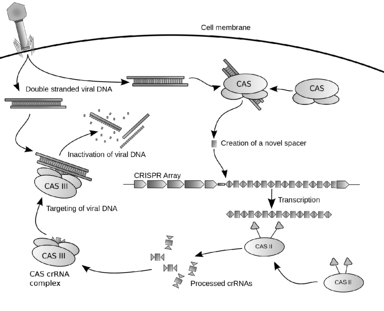 crispr cas9 mechanism
