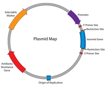 Plasmid map showing the parts of a plasmid