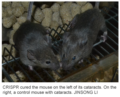 CRISPR-Cas9-cured-mouse-of-cataracts-Jinsong-Li