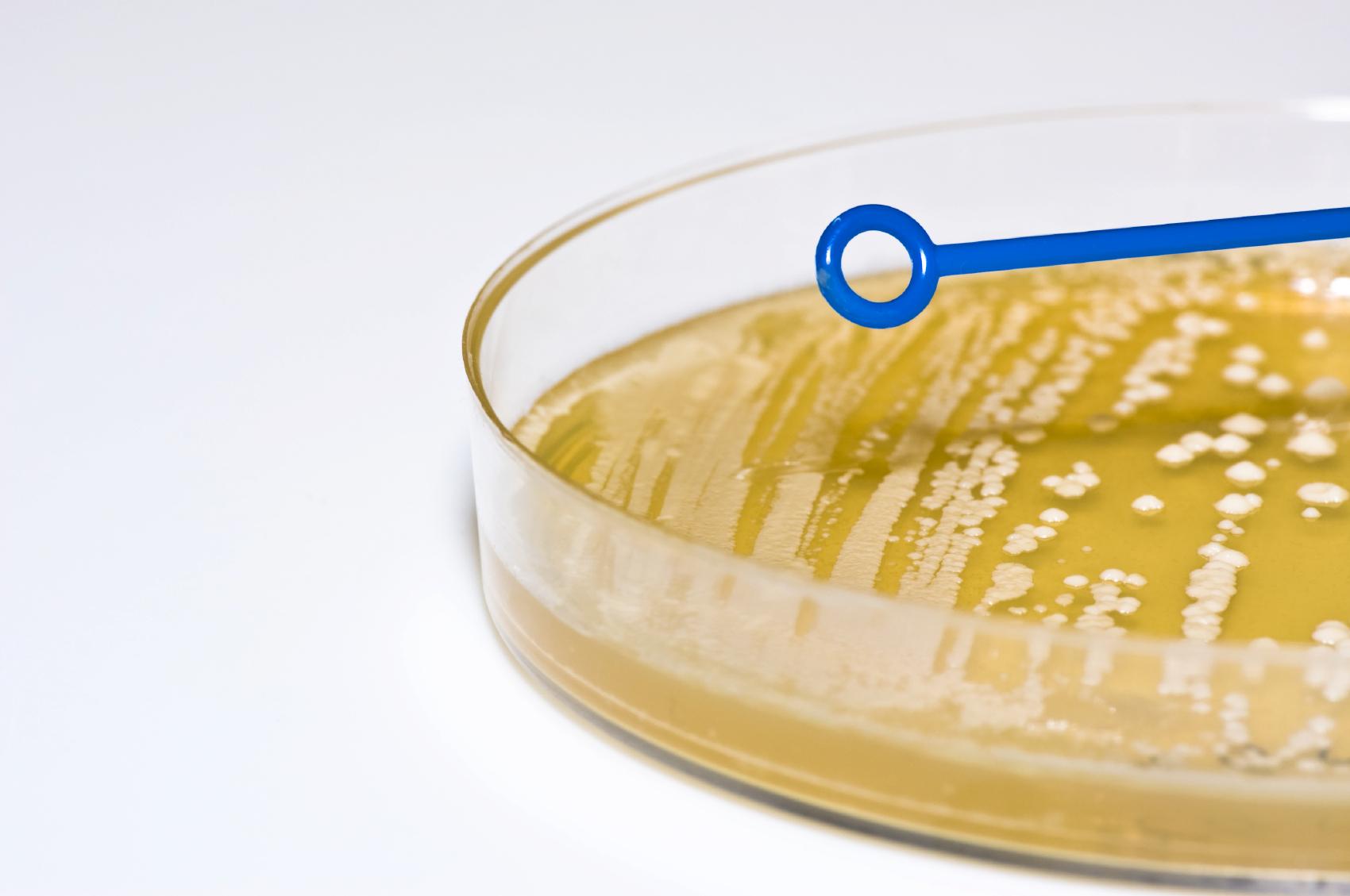 Bacterial_Plate