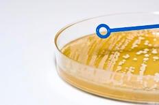 inoculation loop over agar plate