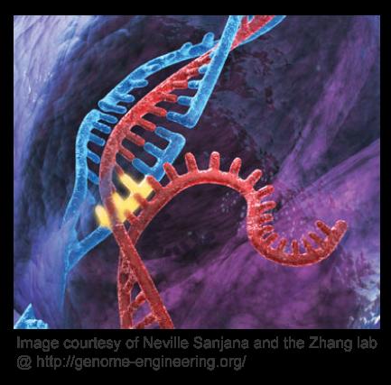 Lentiviral CRISPR-Cas9 libraries for knockout screening