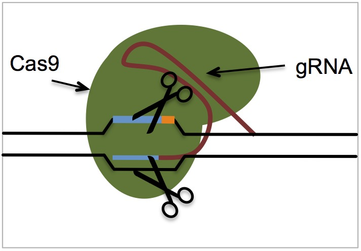 CRISPR_Cas9