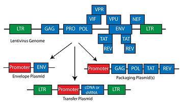 Lentivirus Genetic Organization