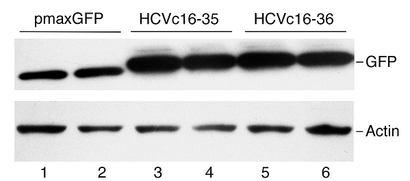 A western blot showing bands for GFP and actin control.