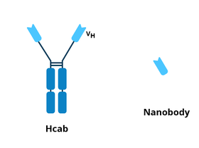 The Hcab consist of the Y shaped heavy chain camelid antibody. In comparison, the nanobdy only includes the variable fragment, the piece at the top of the Y shape.