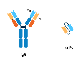 Schematic comparing the Y shaped igG to the scFv. The scFV is much smaller and consists of just the variable regions of the light and heavy chains.