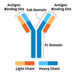 Antibody schematic. The two heavy chains form a Y shape while two shorter light chains are next to each branch of the Y shape. Antigen binding sites include the light and heavy chain at the top of the Y shape. The top part of the antibody is the Fab domain and the bottom part of the antibody is the Fc domain.