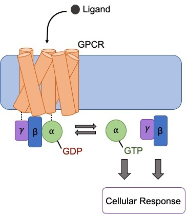 GPCR signaling schematic shows ligand binding the receptor which interacts with the gamma, beta, and alpha subunits below. These subunits split off when activated and results in a cellular response
