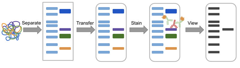 Western blot process overview