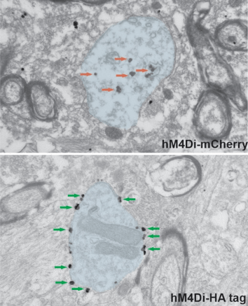 Electron micrograph showing hM4Di tagged with mCherry remaining cytoplasmic and hM4Di-HA tag localizes to the plasma membrane.