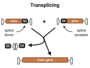 Transplicing-split-AAV