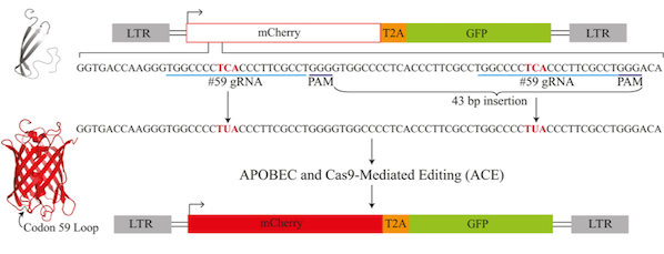 Schematic of the APOBEC and Cas9-mediated editing reporter. The reporter consists of a mutated mCherry gene followed by a constitutively active eGFP. Base editing in the codon 59 loop restores the mCherry protein and results in expression of mCherry.