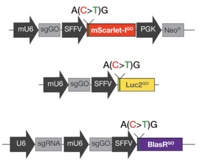 Reporters in Gene On consists of a mScarlet reporter, luciferase reporter, and neomycine resistance reporter whose expression depends on base editing.