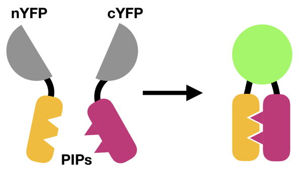 BiFC schematic shows two proteins each tethered to a portion of YFP. When the two proteins interact, the two components of YFP come together and fluoresce.