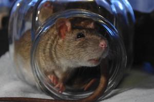 a rat crawls out of a clear jar