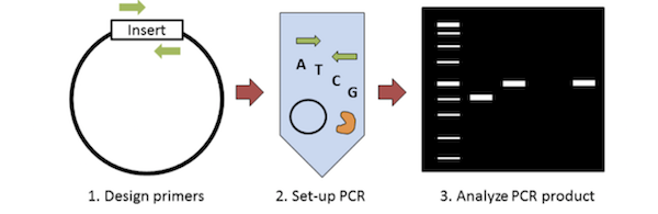 Graphical overview of colony PCR. First design primers to amplify the insert. Then you set up the PCR, and analyze PCR products on a gel.