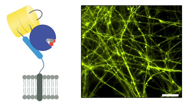 Schematic of iGluSnFR3 and a representative microscopy image of iGluSnFR3 labeled neurons