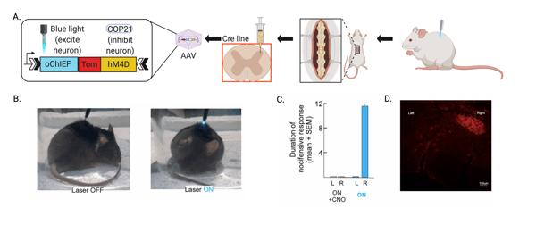 Validation of dual virus method in CR neurons