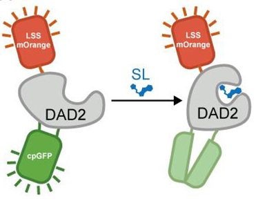 Schematic showing a decrease in cpGFP fluorescence and same mOrange fluorescence with the addition of strigolactone