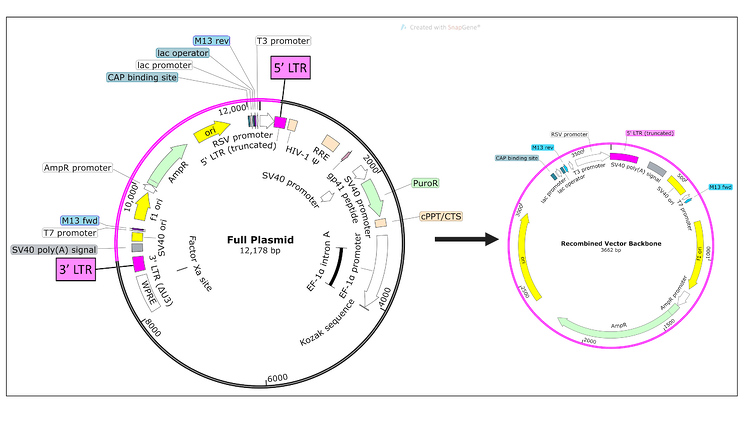 Plasmid maps showing full plasmid and vector backbone after recombination