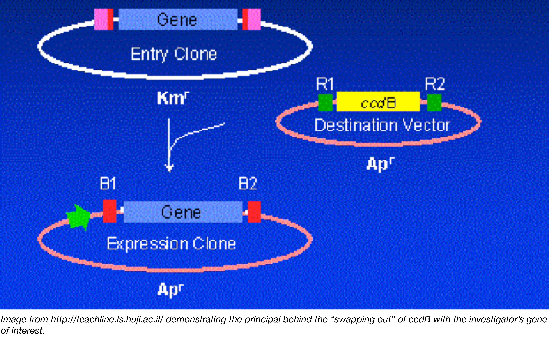 ccdB Figure 2 - Gateway Cloning-01-01.png