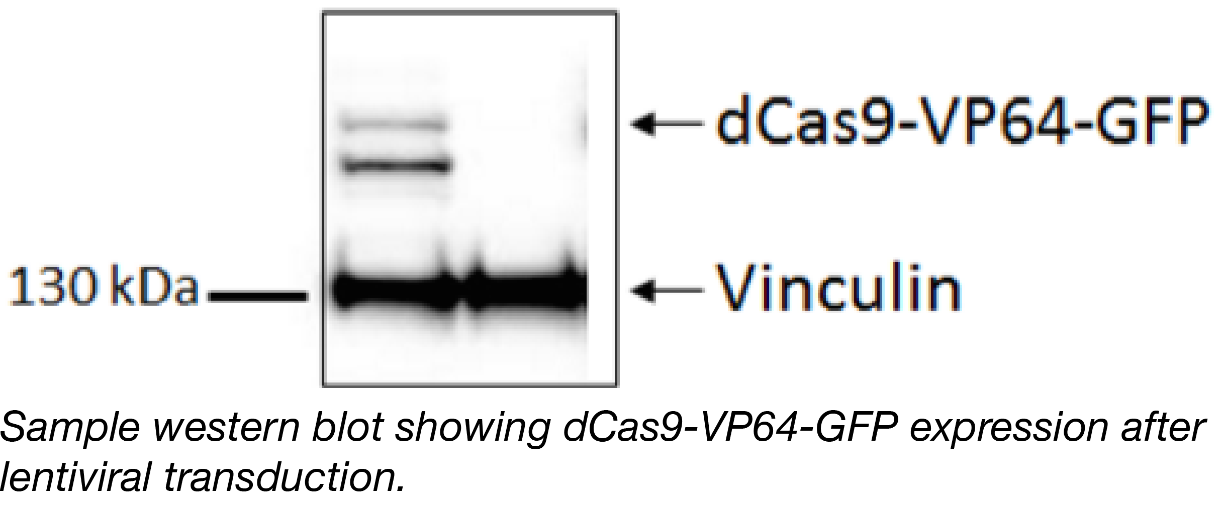 Cas9-VP64-GFP Western Blot-01.png