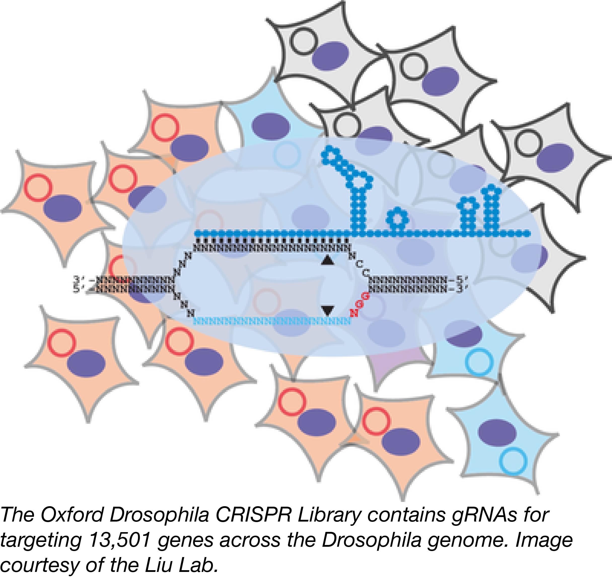 Oxford Drosophila CRISPR Library-01.png