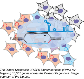 Oxford Drosophila CRISPR Library-01.png