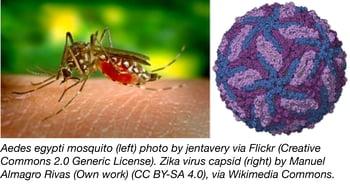 aedes egypti mosquito and zika virus