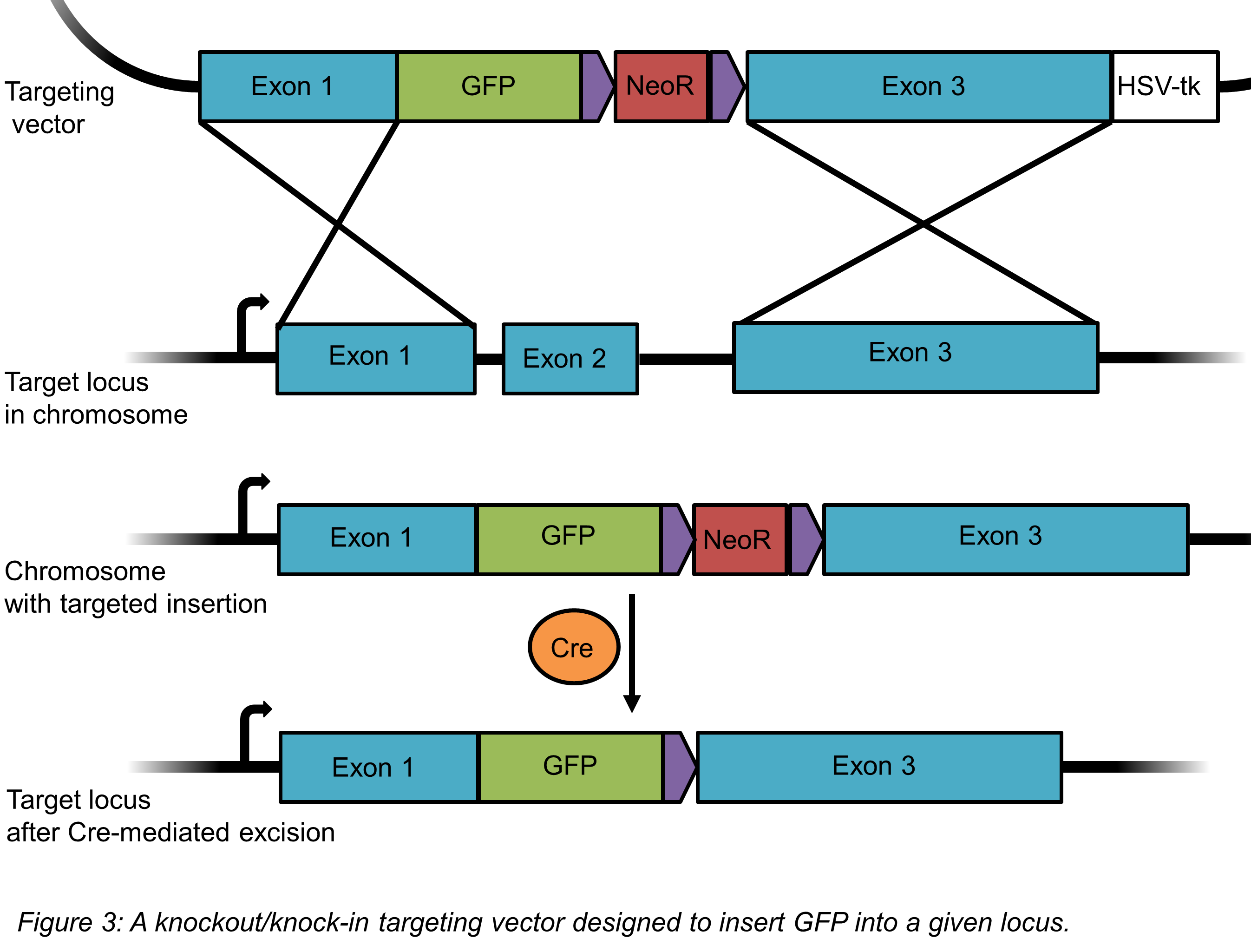 gfp targeting construct