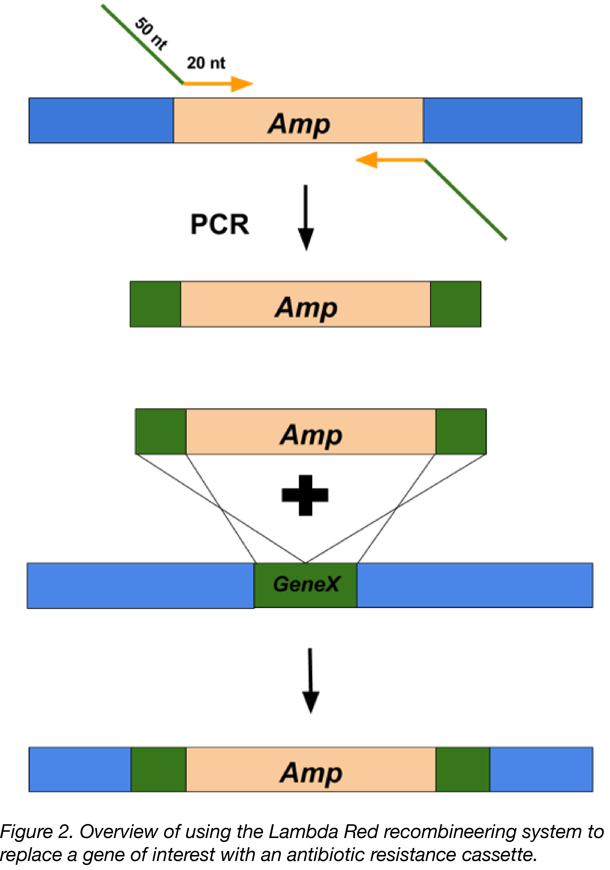 Overview of the Lambda Red recombination process