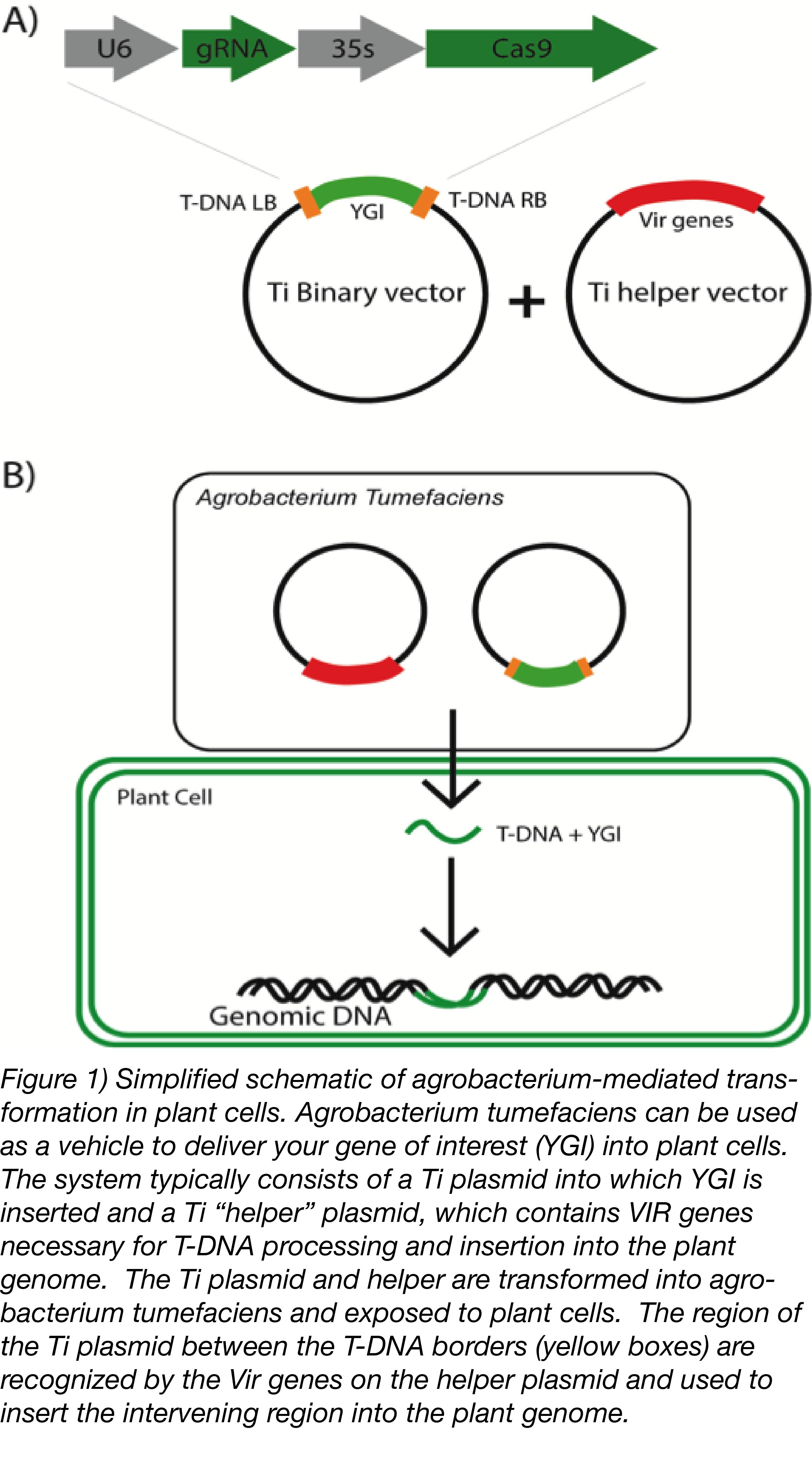 Agrobacterium mediated transformation