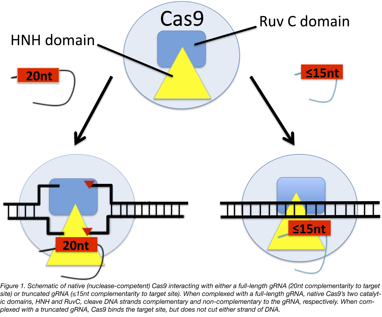 Truncated gRNAs Figure 1-01.png
