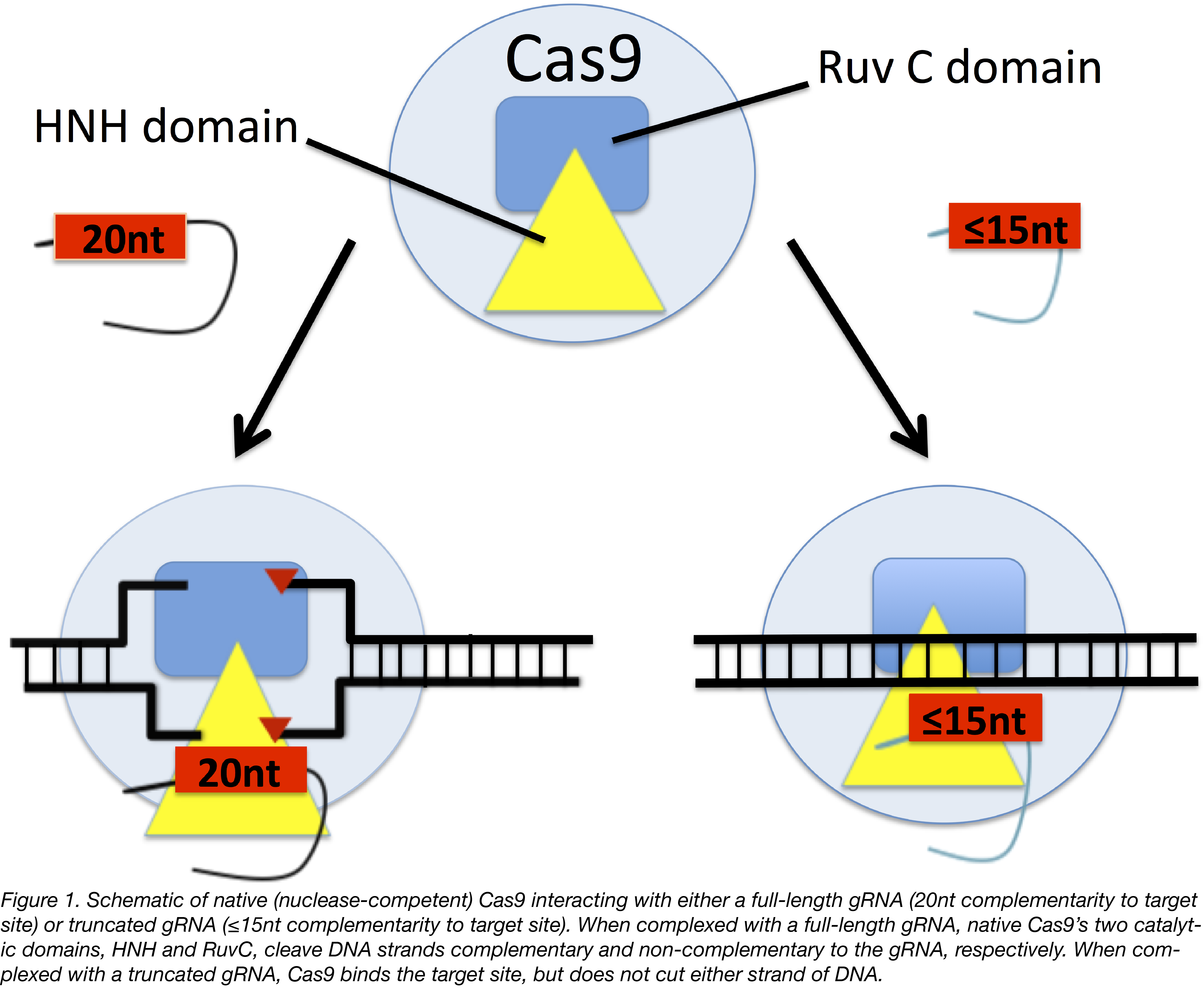 Truncated gRNAs Figure 1-01.png