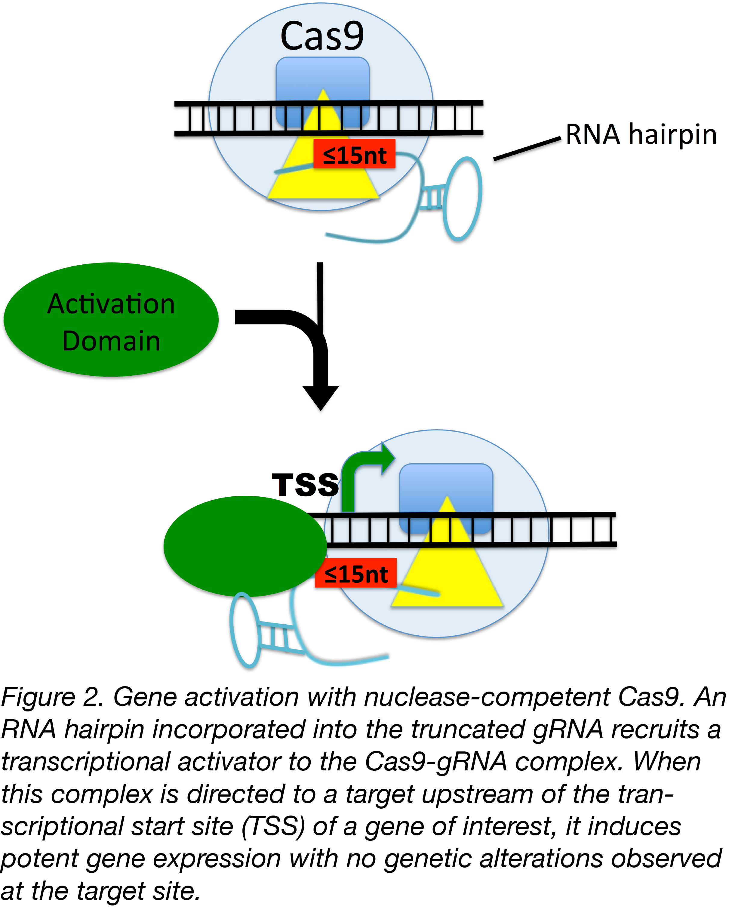 Truncated gRNAs used to Activate Gene Expression