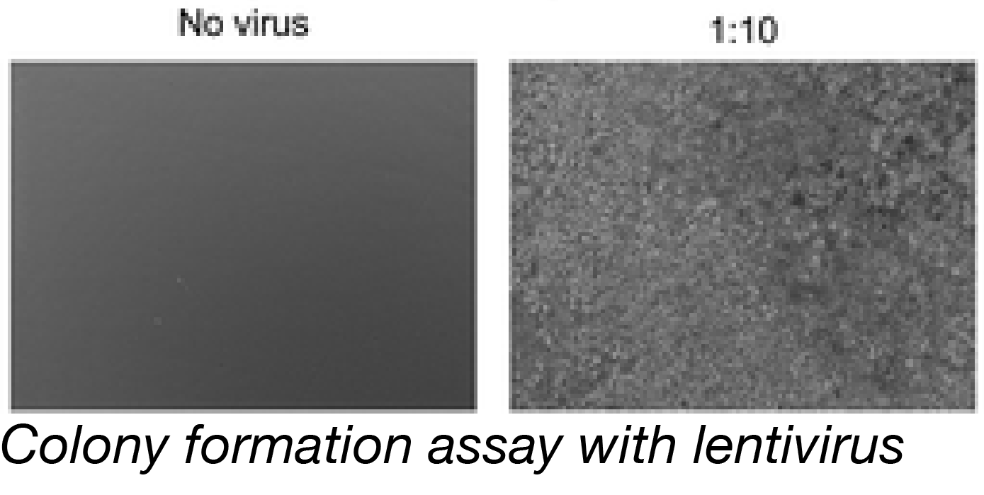 Colony Formation Assay with Lentivirus Captioned-01.png