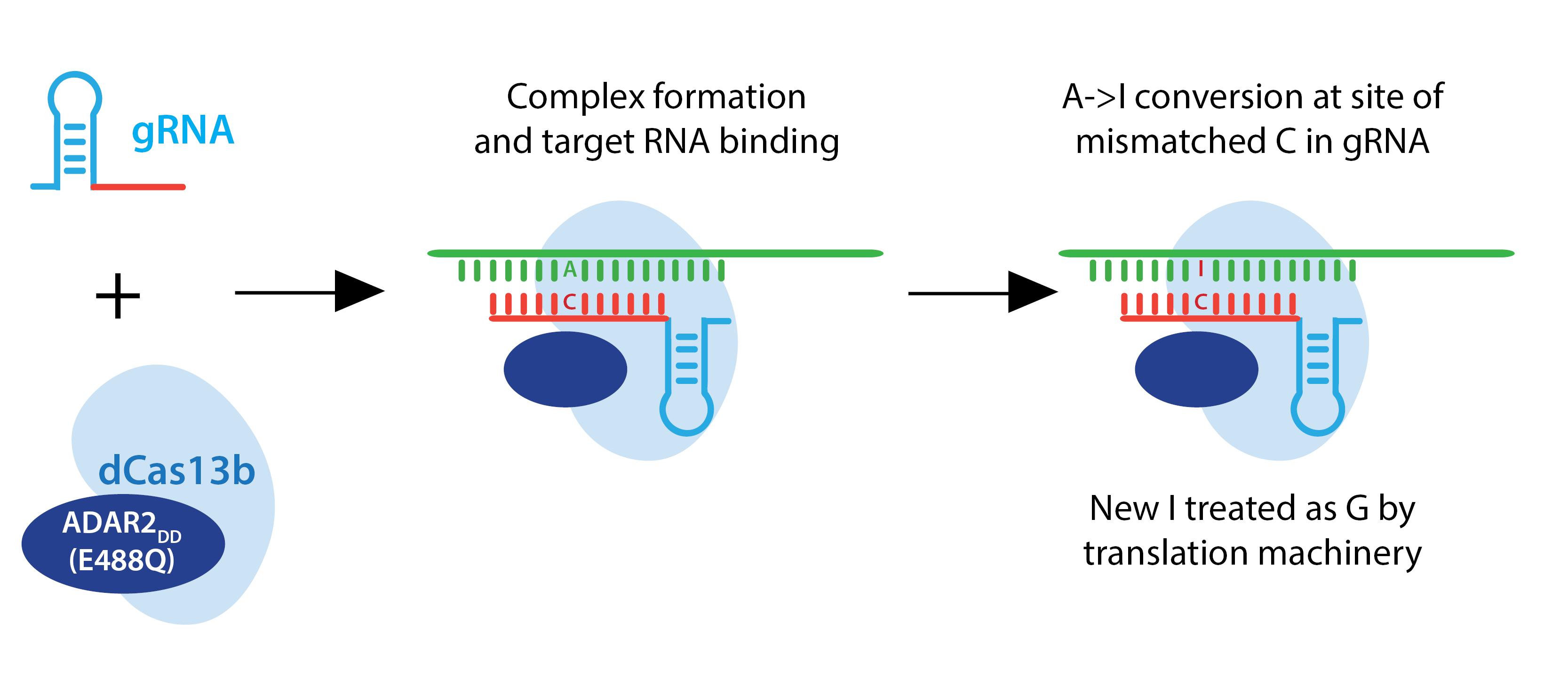 CRISPR-RNA editing-horizontal.png
