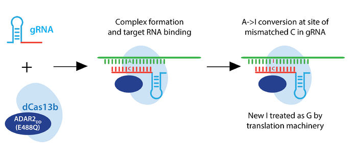 Schematic of RNA editing. gRNA and the dCas13b-ADAR2DD(E488Q) complex together and bind target RNA. Then it makes an A to I conversion at the site of mismatched C in gRNA. The I is treated as a G by translation machinery