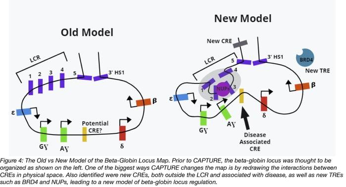 New Model of the beta-globin locus