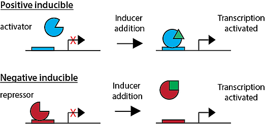 The difference between positive and negative inducible promoters